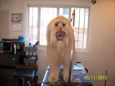 Long-haired dog being groomed