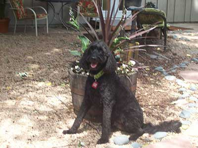 Muddy paws bath house self serve dog wash and professional grooming black pup posing in back yard after grooming solutioingenieria Image collections